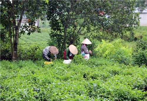 Investing over VND 27 billion to preserve and develop Tan Cuong specialty tea area